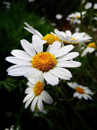 Closeup of Shasta daisies growing wild in Surrey, UK, shallow depth of field. Stock Photo