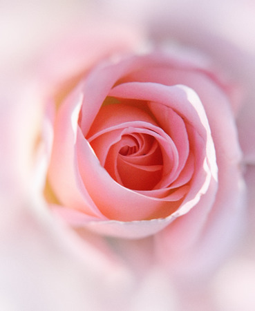 Pink rose closeup with blur vignette. 免版税图像
