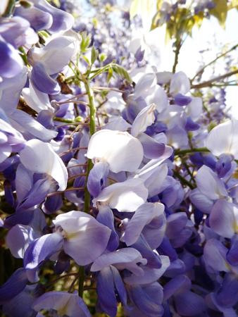 Wisteria blooms in sunlight.