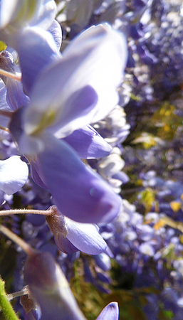 Wisteria blooms in sunlight, closeup. Banque d'images