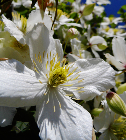 White clematis flowers growing.