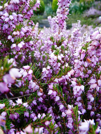 Heather, a well known British wildflower growing on a UK heath.