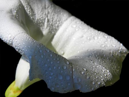White convolvulus flower growing in a British garden.