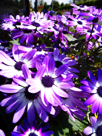 Purple flowers growing in a British garden. Banco de Imagens