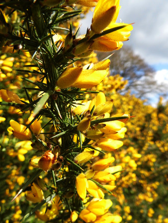 Gorse, a well known British wildflower growing.