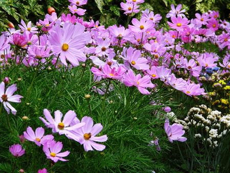 Pink flowers growing in a British garden.