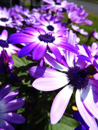 Purple flowers growing in a British garden. Banco de Imagens