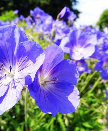 Flowers growing in a British garden.