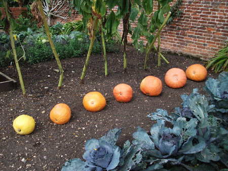 Vegetable garden with pumpkins and cabbages, UK.