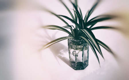 Closeup of a small spider plant in a small glass vase, processed with blur vignette.