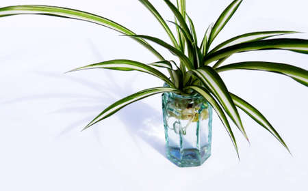 Closeup of a small spider plant in a small glass vase, against a white background, lit with shadow.