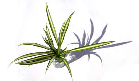 Small spider plant in a small glass vase, against a white background, lit with shadow.