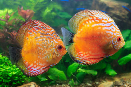 Two colorfull tropical fishes
