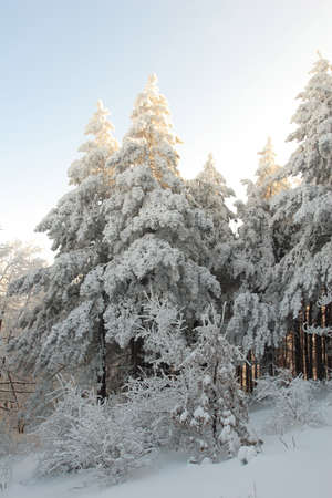 Christmas pine trees in the winter Stock Photo - 6945443