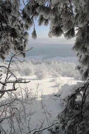 Winter scene with frosen pine trees. Stock Photo - 6945450