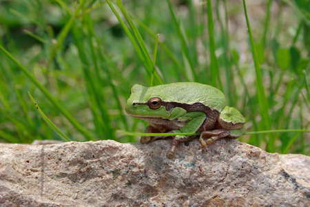 Green frog siiting on a stone in a green grass Stock Photo
