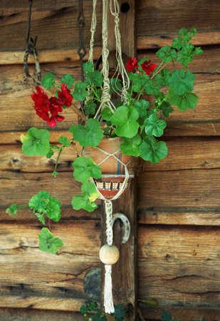 Geranium in a flowerpot Stock Photo - 6945437