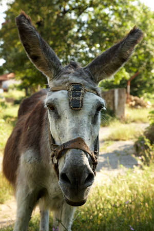Portrait of an old working donkey Stock Photo - 6945474