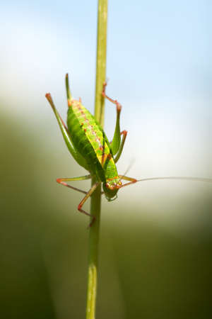Grasshopper going down on a stalk of grass Stock Photo - 6941556