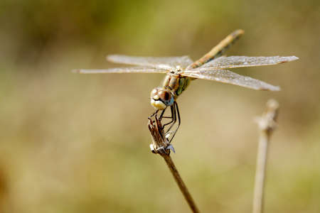 Large brown dragonfly posed on a dry grass Stock Photo - 6941264