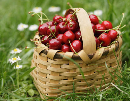 Handbasket full with ripe red cherries