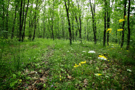 Green spring oak forest with green grass and spring forest flowers