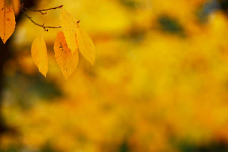 Autumn scene with colorful yellow leafs and blurred yellow background Stock Photo