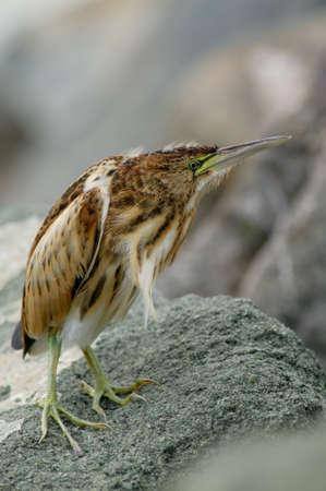 aquatic bird: Strange stumpy aquatic bird