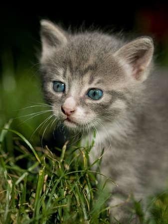 Lindo gato gris poco con ojos azules  Foto de archivo - 6943904