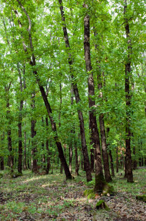 quercus: Groove of green oak-trees (Quercus) Stock Photo