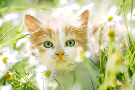 Cute little cat with beautiful eyes in green spring grass, back lit, looking at the camera Stock Photo
