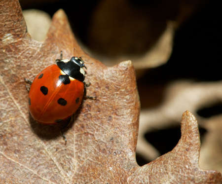 mirro: Close-up of a red lady-bird on a autumn leaf
