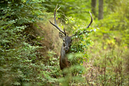 Wild animal, european stag deer with grass on his horns