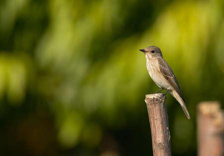 songbird: Songbird Muscicapa striata