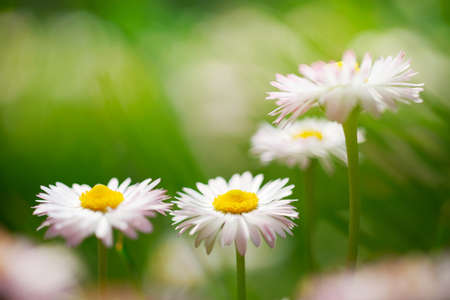 marguerites: Spring white flowers, marguerites in green meadow close up