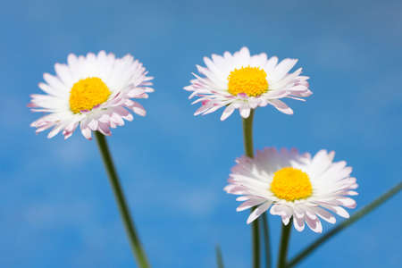 marguerites: Spring flowers, marguerites on blue sky background Stock Photo