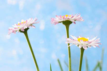 marguerites: Spring flowers, marguerites over a blue background