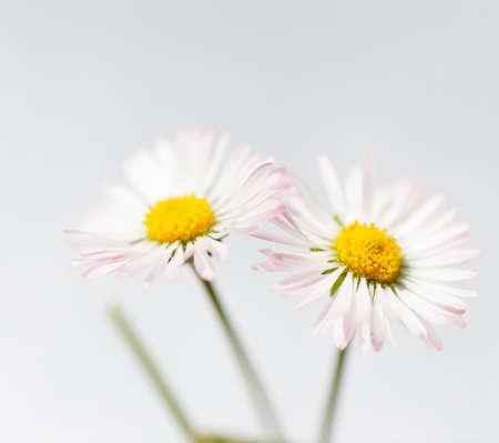 marguerites: Spring white flowers, marguerites on white backgound