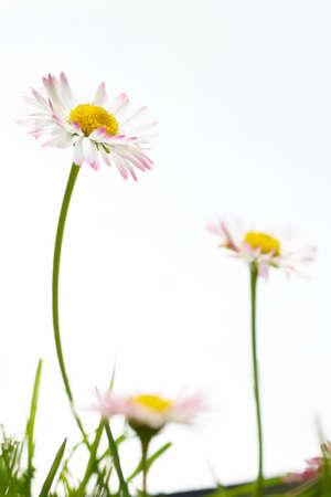 marguerites: Spring white flowers, marguerites