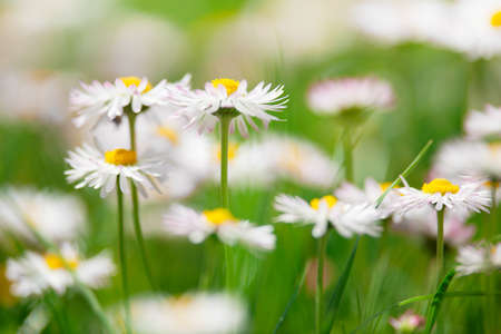 marguerites: Spring white flowers, marguerites in a green meadow close up with blurred background Stock Photo
