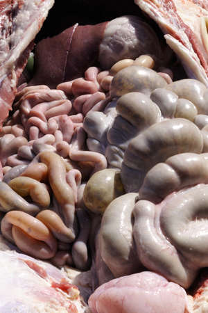 Pig intestine internal biology of animal Stock Photo