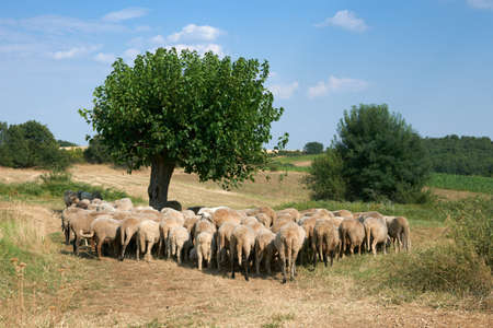 Summer rural scene with flock of sheep, Rhodope mountain, Bulgaria