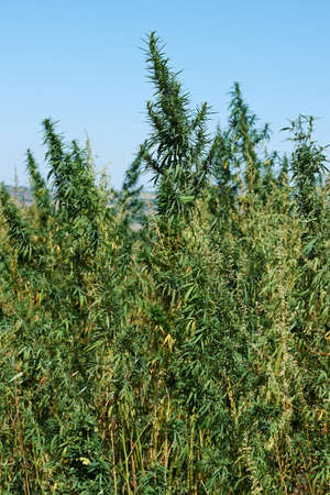 narcotic: Plantation of marihuana plant for making drugs with thc narcotic