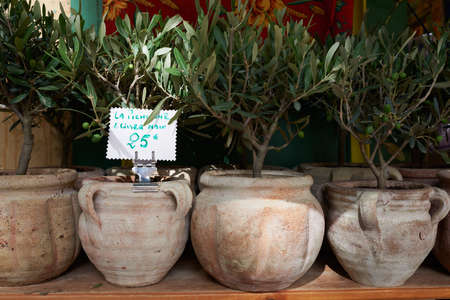 Little bonsai olive trees for sale in Provnece market, South France photo