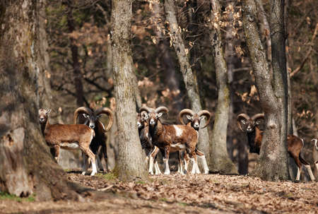 Flock of male European mouflons in oak forest Stock Photo - 18429898