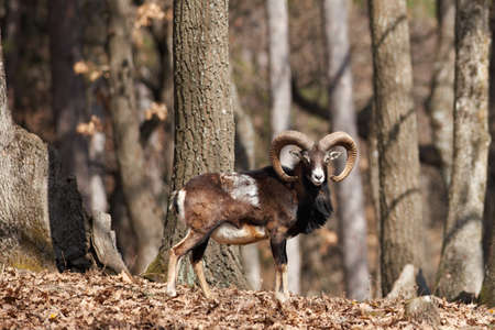 European mouflon in oak forest male