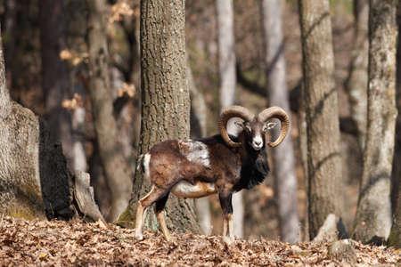 European mouflon in oak forest male Stock Photo - 18433972