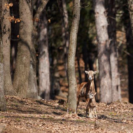 mouflon: European mouflon female with kid in oak forest