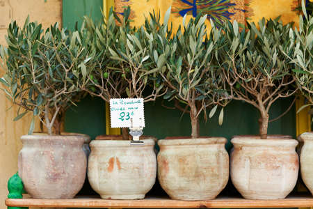 Small olive trees in pots, bonsai plants for sale in Provence, France Stock Photo