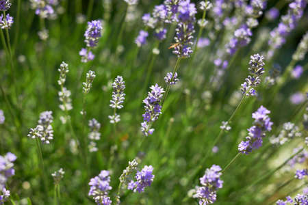 Lavender blossoms in Provence field, South France Stock Photo